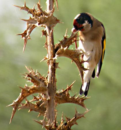 عالم الطيور - أجمل طائر الحسون الفلسطيني