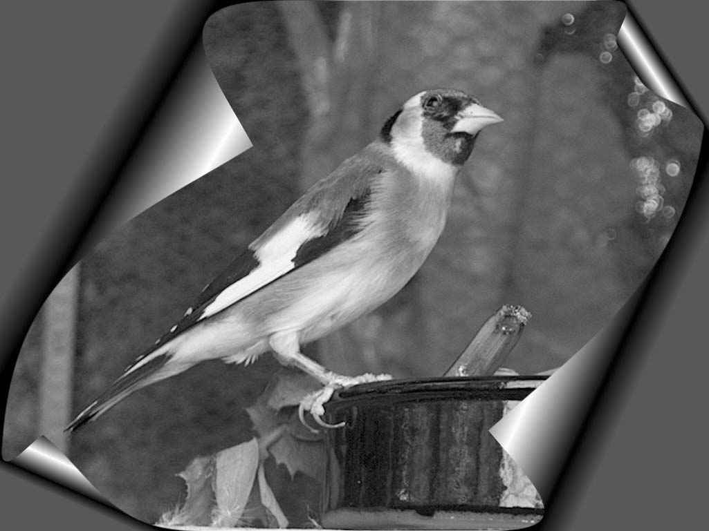 jilguero-chardonneret-meknine-chant-d-oiseaux-